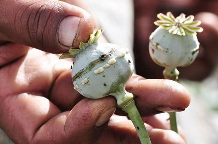 FILE PHOTO: A man holds a lanced poppy bulb to show how to extract the sap, which will be used to make opium, at a field in the municipality of Heliodoro Castillo, in the mountain region of the state of Guerrero, Mexico January 3, 2015. REUTERS/Claudio Vargas/File photo