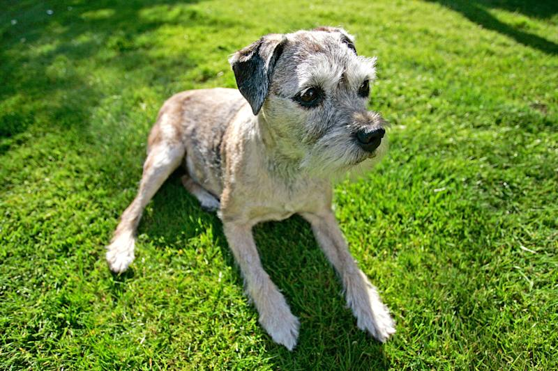 Many of the behavioral changes associated with Alzheimer's disease in humans have also been recognized in dogs