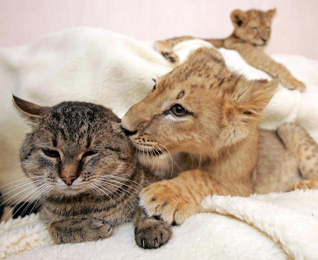 A lion cub caresses a domestic cat as another lion rests in a private house in Kharkov