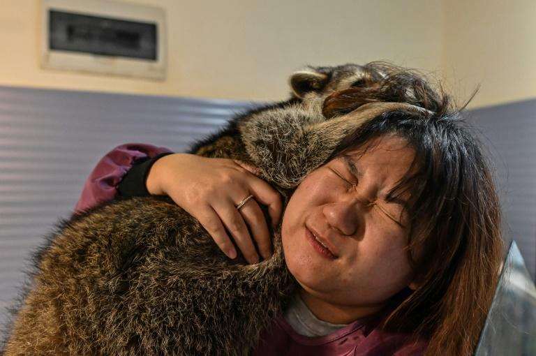 A raccoon jumps onto a woman's shoulder at a raccoon cafe in Shanghai