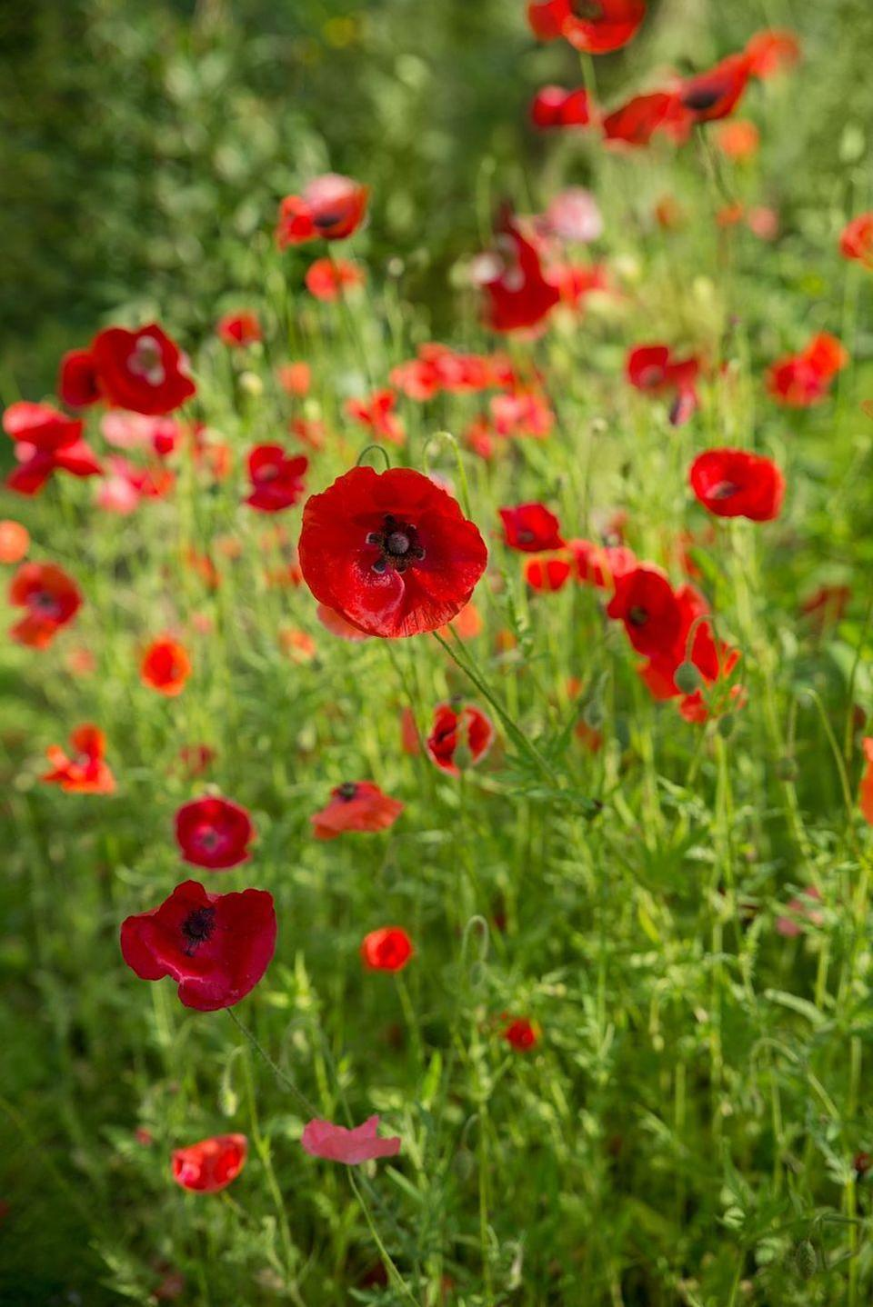 "<p>You probably already know this one because of Veterans Day: The red poppy represents ""remembrance."" That's why people wear poppies pinned to their lapels on that day. </p>"