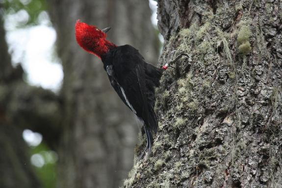 Invasive Mink Threatens South America's Largest Woodpecker