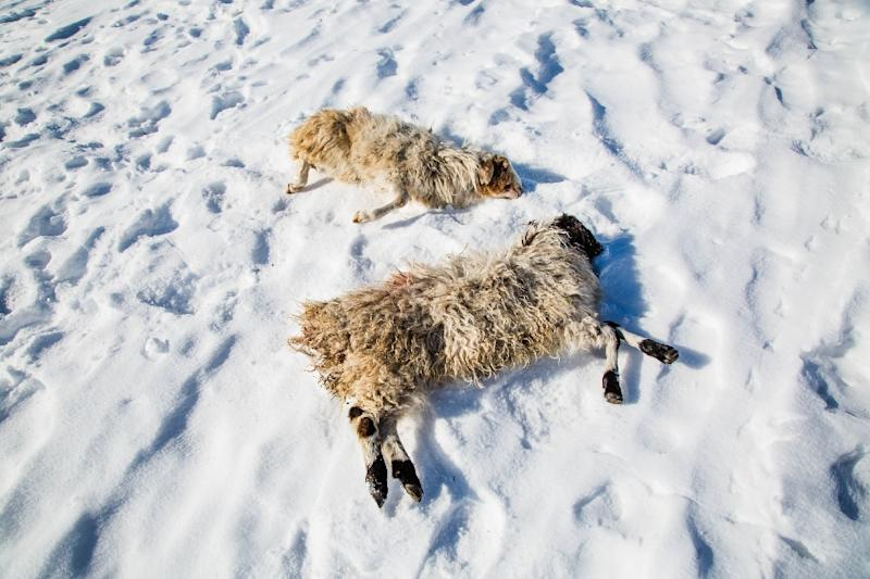 Dead sheep lie in the snow following severe weather near a farm in Khuvsgul province, northern Mongolia, in a photo taken on February 12, 2017 and released by the International Federation of Red Cross and Red Crescent Societies (IFRC) (AFP Photo/Mirva HELENIUS)