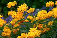 """<p>These <a href=""""http://www.missouribotanicalgarden.org/PlantFinder/PlantFinderDetails.aspx?kempercode=g520"""" rel=""""nofollow noopener"""" target=""""_blank"""" data-ylk=""""slk:&quot;oxeye sunflowers&quot;"""" class=""""link rapid-noclick-resp"""">""""oxeye sunflowers""""</a> mimic their summertime cousin with their yellow petals and brown center but last much longer into fall. To ensure your heliopsis reaches full bloom, make sure to plant them in the sunniest part of your garden. <br></p><p><strong>When it blooms: </strong>July through fall</p><p><strong>Where to plant:</strong> Full sun</p><p><strong>When to plant: </strong>Spring or fall</p><p><strong>USDA Hardiness Zones: </strong>3 to 9</p>"""