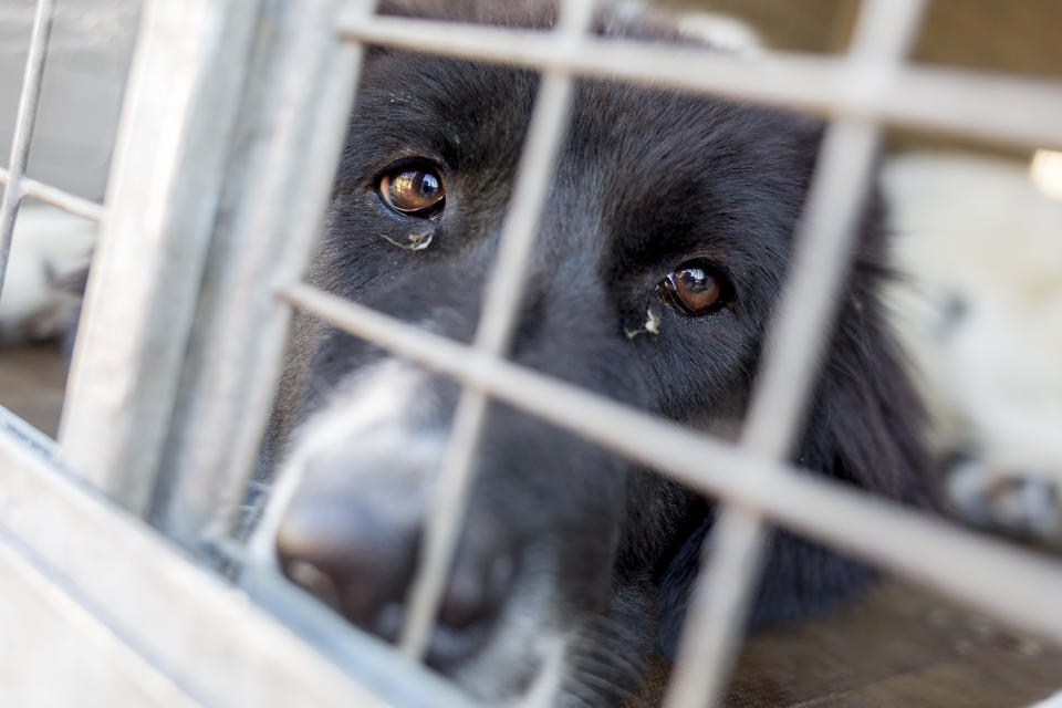 Homeless and ownerless sad dogs are kept in cages.