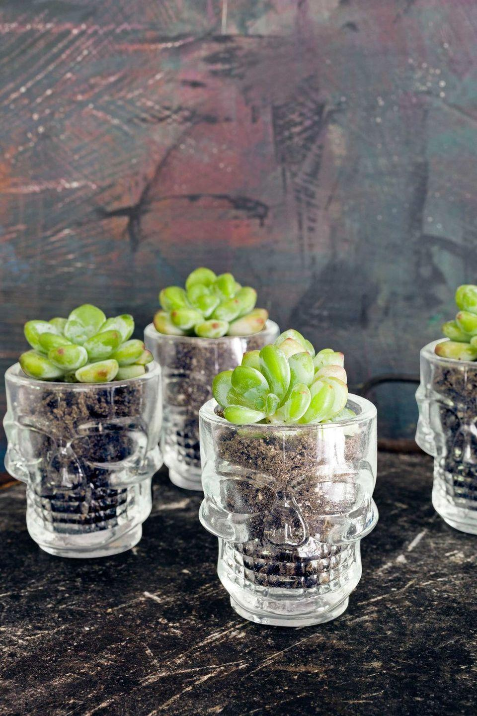 """<p>Give succulents a spooky twist by placing them right inside skull glasses. </p><p><a class=""""link rapid-noclick-resp"""" href=""""https://go.redirectingat.com?id=74968X1596630&url=https%3A%2F%2Fwww.walmart.com%2Fip%2FEbros-Gift-Set-2-Clear-Translucent-Acrylic-Skeleton-Skull-Face-Whisky-Vodka-Scotch-Liquor-Shot-Glass-Shooters-Alcoholic-Beverage-Glasses-Halloween-Sk%2F492434069&sref=https%3A%2F%2Fwww.goodhousekeeping.com%2Fholidays%2Fhalloween-ideas%2Fg33437890%2Fhalloween-table-decorations-centerpieces%2F"""" rel=""""nofollow noopener"""" target=""""_blank"""" data-ylk=""""slk:SHOP SKULL GLASSES"""">SHOP SKULL GLASSES</a></p>"""