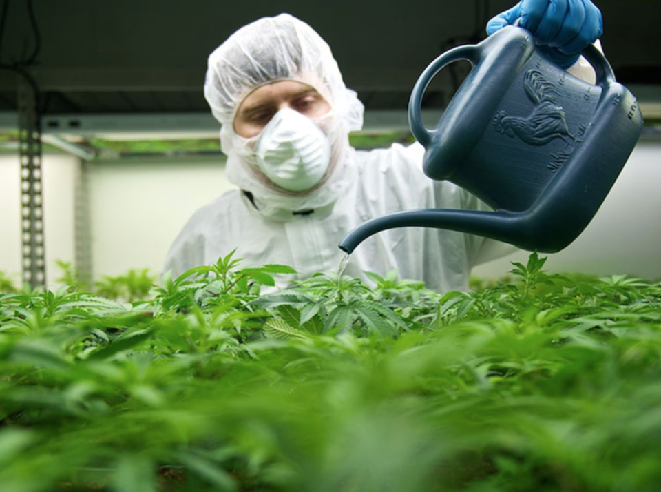 A Tilray scientist waters some marijuana plants. (Photo: Tilray)