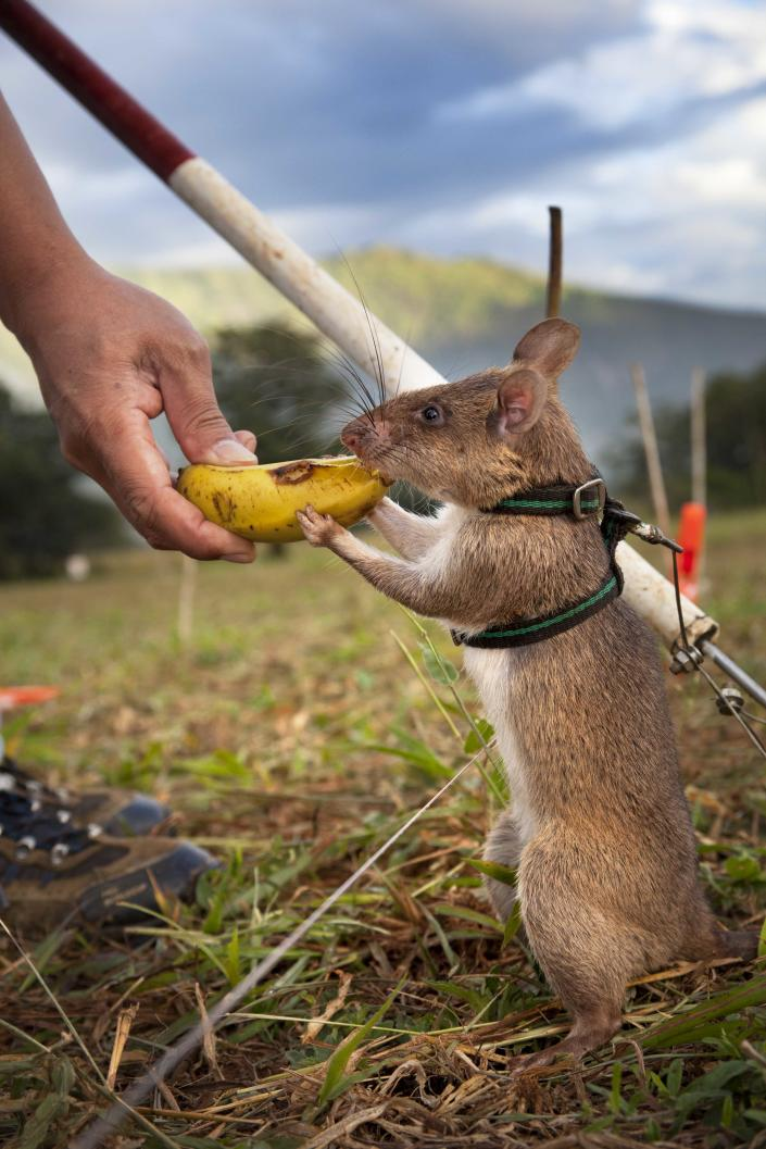 """An APOPO """"HeroRAT"""" receives a treat after a job well done. (Photo: APOPO)"""