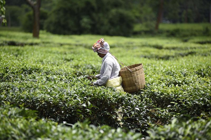 INDIA,NAGAON:An Indian tea plantation worker picks leaves at a tea garden in Nagaon District of Assam ,india on June 10,2019.PHOTOGRAPH BY Anuwar Ali Hazarika / Barcroft Media (Photo credit should read Anuwar Ali Hazarika / Barcroft Media / Barcroft Media via Getty Images)
