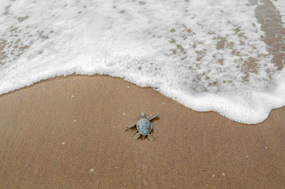 Green Sea Turtle (Chelonia mydas), Hatchling Entering the Ocean, Tortuguero National Park, Costa Rica