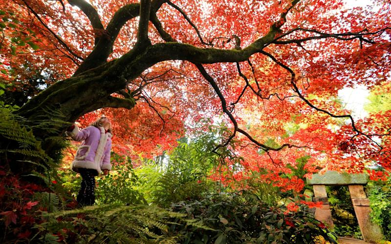 Japanese Maples, also known as Acers, will be in full colourful swing soon at The National Trust's Biddulph Grange Garden - Stop Press