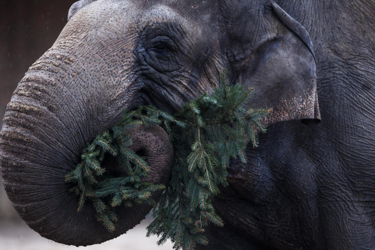 An elephant eats a Christmas tree at the Berlin Zoo at the launch of the annual feeding of Christmas trees in Berlin, Friday, Jan. 4, 2013. Keeper Dr. Ragnar Kuehne told reporters that today was the first day the elephants and some other zoo animals were fed with Christmas trees after the holiday period. The trees have not been used and were not sold, they were donated by the vendors in the area. (AP Photo/Markus Schreiber)