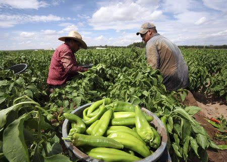 Farmers harvest chile peppers in Hatch, New Mexico in an undated photo provided by the New Mexico Tourism Department. REUTERS/New Mexico Tourism Department/handout via Reuters