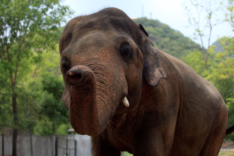 With songs and sedation, experts aim to rescue Kaavan the Islamabad elephant