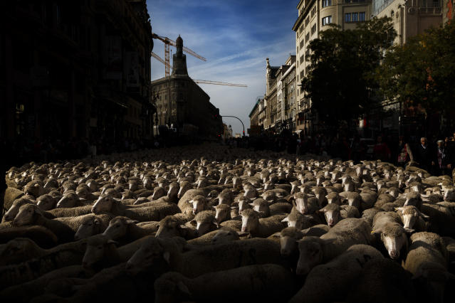 <p>Shepherds lead their sheep through the center of Madrid in defense of ancient grazing, droving and migration rights, which are increasingly threatened by urban sprawl and modern agricultural practices, Oct. 25, 2015. (Photo: Daniel Ochoa de Olza/AP) </p>