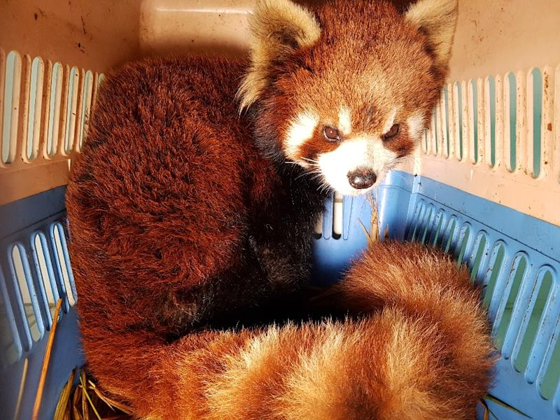 Red pandas are also targeted for their fur (AFP Photo/Handout)