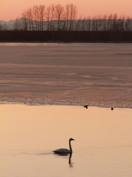 In this photo taken Sunday, Oct. 28, 2012, a lone swan swims in open water in the mostly frozen Westchester Lagoon in Anchorage, Alaska. Trumpeter swans continued a remarkable comeback from near extinction in the Lower 48 states and much of their Alaska habitat, said federal wildlife biologist Deborah Groves, who has counted Alaska swans since 1990. (AP Photo/Dan Joling)