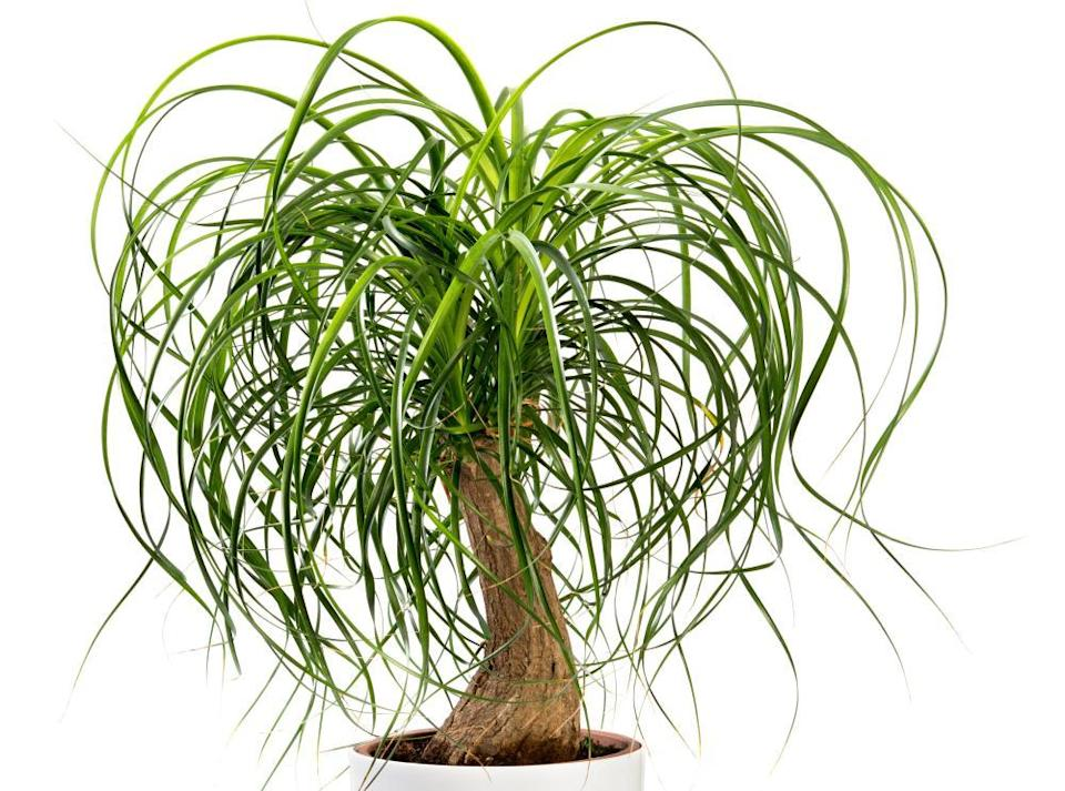 Ponytail Palm, potted in a large white tub isolated on white