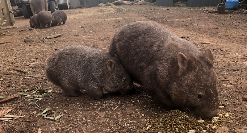 Food for wildlife is having to be trucked in from Victoria. Source: Cedar Creek Wombat Hospital