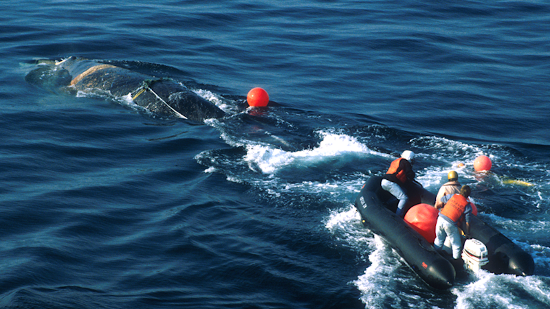 A dingy filled with rescuers heads towards an North Atlantic whale calf caught in rope.