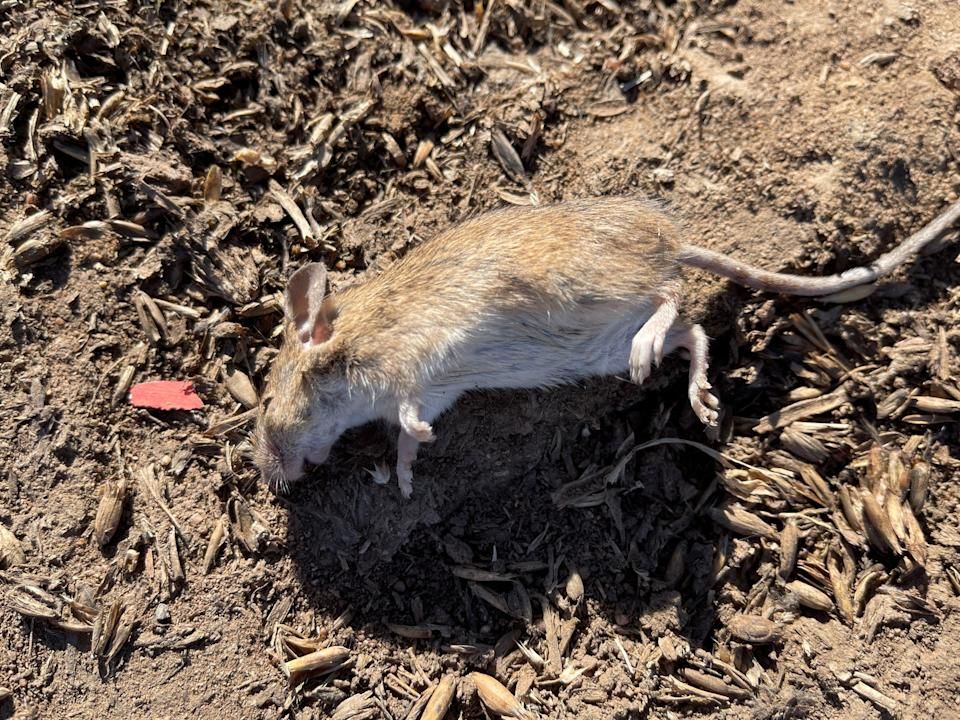 Mouse plague already lasting nine months is thought to have caused $1bn of damage (Reuters)