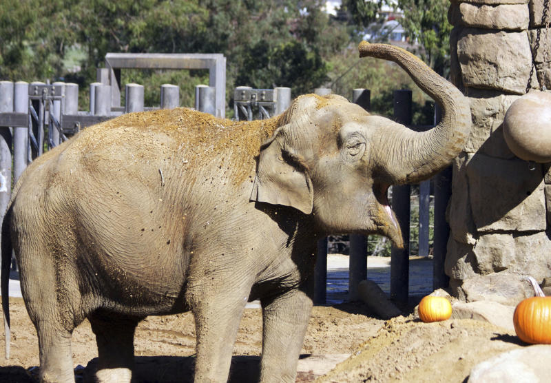 FILE - This 2016 file photo provided by the Santa Barbara, Calif., Zoo shows Little Mac, its 48-year-old Asian elephant. Little Mac has been euthanized after a sharp decline in her health The zoo says Little Mac was euthanized Wednesday night, Sept. 25, 2019 in her exhibit yard, surrounded by keepers and staff. She came to the zoo from India in 1972 with another female Asian elephant, Sujatha, who was euthanized last year. The zoo says her decline began in June with the onset of new medical issues in addition to other problems common in geriatric elephants. (Santa Barbara Zoo via AP, File)