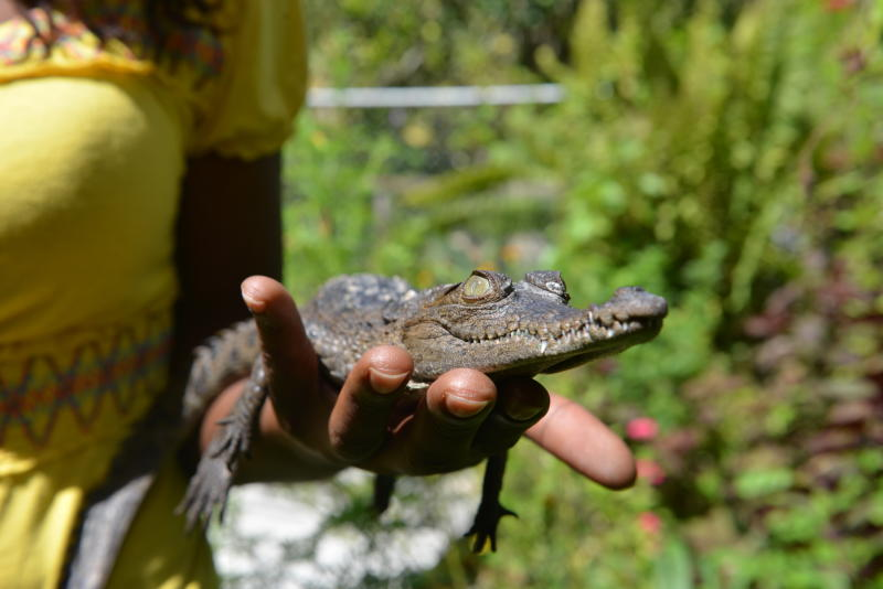 """In this Sunday, Sept. 29, 2013 photo, a 2-year-old crocodile nicknamed """"Sylvester"""" is held at a sanctuary and captive rearing program crocodile enthusiast Lawrence Henriques founded in the mountain town of Cascade in northern Jamaica. The poaching problem has gotten so bad in Jamaica, that Henriques set up the sanctuary, far from the animals' southern habitat, as insurance against future loss. He also hopes to educate islanders who revile them or want to barbecue them. (AP Photo/David McFadden)"""