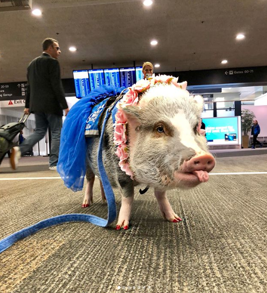 <p>Meet Lilou, the therapy pig who roams San Francisco International Airport in a bid to bring a smile to passenger's faces and relax them before their flight. Photo: Instagram/lilou_sfpig </p>