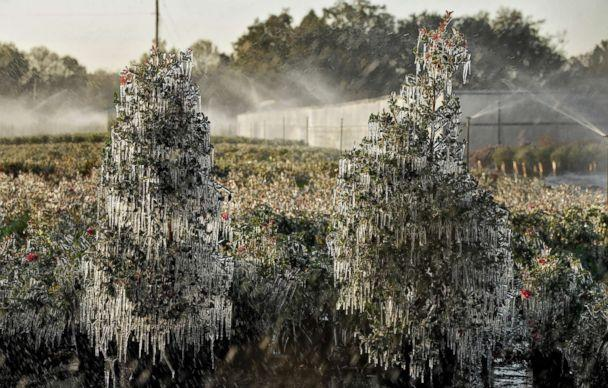 PHOTO: A thin layer of ice covers ornamental plants, Jan. 4, 2018, in Plant City, Fla. Growers spray water on the plants to help protect them from extreme cold temperatures.  (Chris O'Meara/AP)