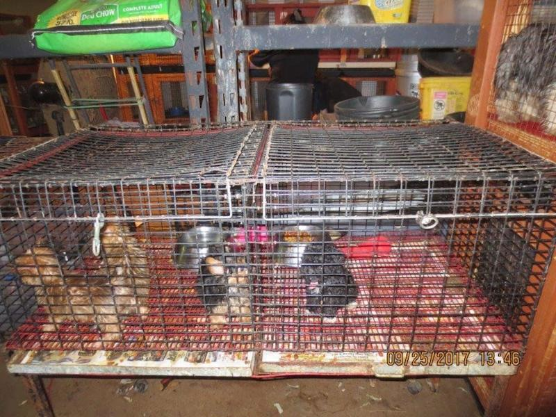 Puppies inside cages at the facility in Greenville, Texas.