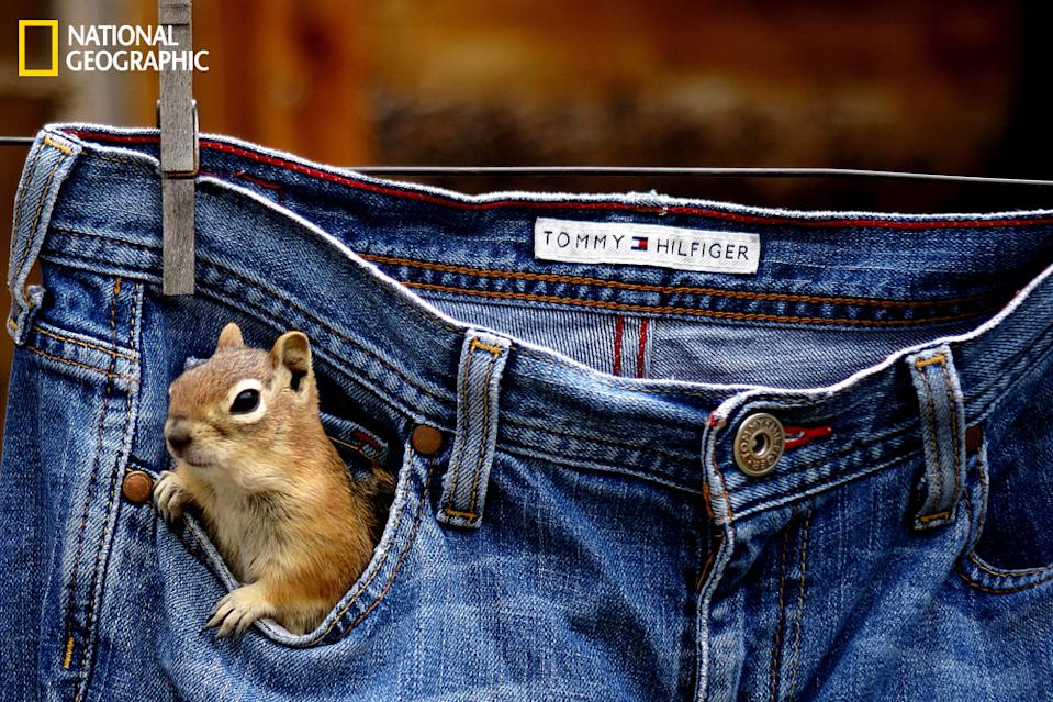 "Around my cabin are a lot of ground squirrels and chipmunks. I always have pecans or peanuts in my pocket to feed them. One afternoon, I found them exploring my pockets in a pair of jeans drying on the clothesline! (Photo and caption Courtesy Betsy Seeton / National Geographic Your Shot) <br> <br> <a href=""http://ngm.nationalgeographic.com/your-shot/weekly-wrapper"" rel=""nofollow noopener"" target=""_blank"" data-ylk=""slk:Click here"" class=""link rapid-noclick-resp"">Click here</a> for more photos from National Geographic Your Shot."