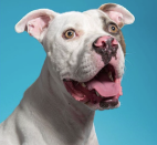 <p>This American Bulldog/Pit Bull mix is the epitome of beauty!</p>
