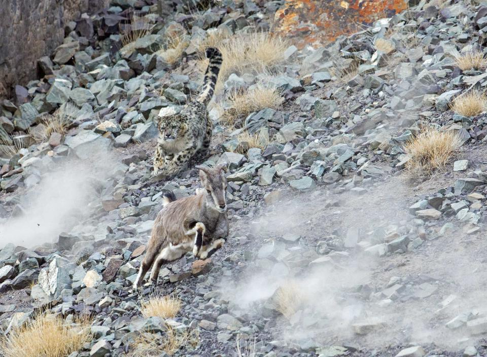 The leopard unsuccessfully attempted to hunt the blue sheep after hidiing among the rocks (Picture: Inger Vandyke/Caters)