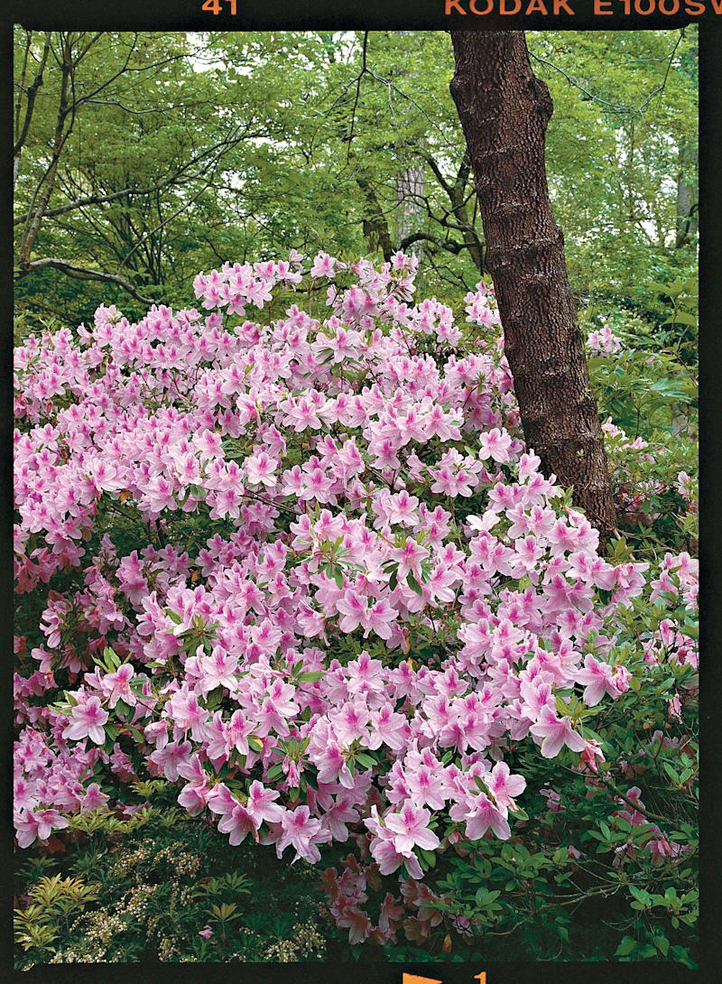 Azaleas Made Simple