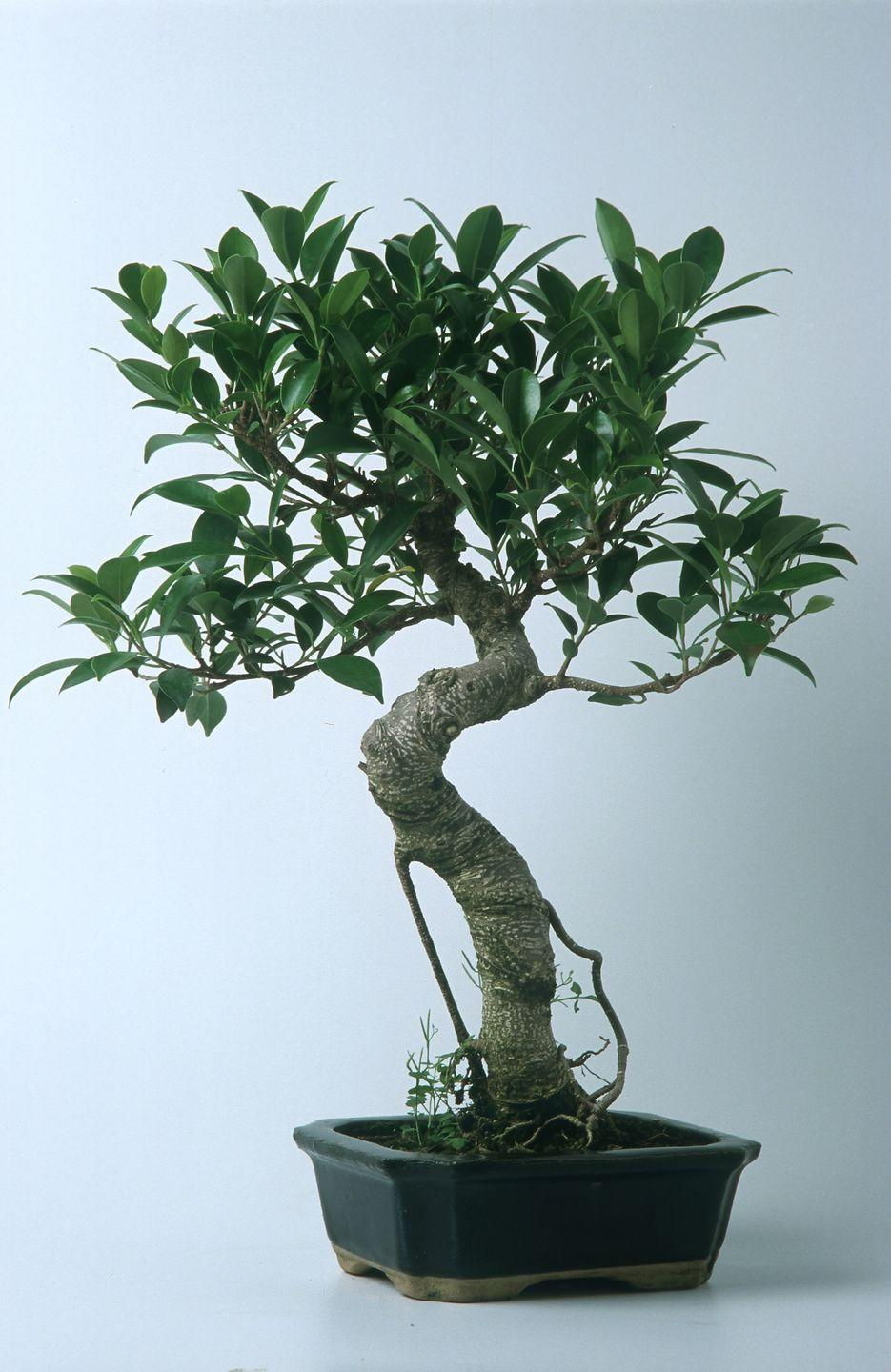 """<p><a class=""""link rapid-noclick-resp"""" href=""""https://www.amazon.com/Brussels-Golden-Ficus-Indoor-Bonsai/dp/B0000DGF9V?tag=syn-yahoo-20&ascsubtag=%5Bartid%7C10052.g.3284%5Bsrc%7Cyahoo-us"""" rel=""""nofollow noopener"""" target=""""_blank"""" data-ylk=""""slk:Shop Now"""">Shop Now</a></p><p><em>$34, Amazon</em><br></p><p>Bonsai is the Japanese art of pruning in which small trees mimic the scale and shape of a full-size tree. Bonsais are perfect for apartments because of their size, and the ficus bonsai is one of the lowest-maintenance ones. The ficus bonsai thrives in warm environments, so indoors is ideal. They require high sunlight and can survive occasional over- or underwatering.</p>"""