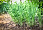 """<p>Lemongrass is a tall, perennial grass that's native to tropical and sub-tropical climates of Asia. It looks a lot like citronella grass, and also has similar mosquito-fighting properties, Pereira says.</p><p> One <a href=""""https://www.ncbi.nlm.nih.gov/pmc/articles/PMC3059459/"""" rel=""""nofollow noopener"""" target=""""_blank"""" data-ylk=""""slk:scientific literature review"""" class=""""link rapid-noclick-resp"""">scientific literature review</a> found that lemongrass oil offered up to 95% protection against certain types of mosquitoes for 2.5 hours, while another <a href=""""https://www.ncbi.nlm.nih.gov/pmc/articles/PMC3718533/"""" rel=""""nofollow noopener"""" target=""""_blank"""" data-ylk=""""slk:study"""" class=""""link rapid-noclick-resp"""">study</a> found the oil can deter stable flies in a lab setting. Keep in mind, though, that it was the <em>oil</em> that was studied—not the plant itself. But if you'd like to add a few to your yard to see if they help, it's a great place to start.</p>"""