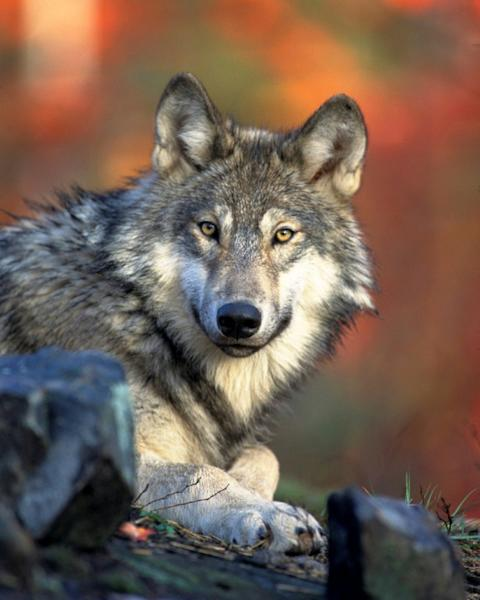 A Gray wolf (Canis lupus) (AFP Photo/HO)