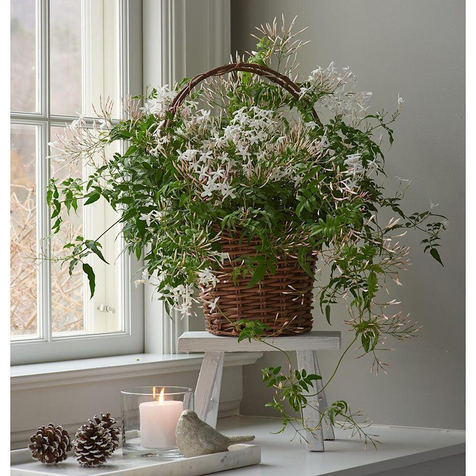 """<p><strong>Jasmine</strong></p><p>whiteflowerfarm.com</p><p><strong>$75.00</strong></p><p><a href=""""https://www.whiteflowerfarm.com/83260-product.html"""" rel=""""nofollow noopener"""" target=""""_blank"""" data-ylk=""""slk:Shop Now"""" class=""""link rapid-noclick-resp"""">Shop Now</a></p><p>Jasmine is a subtropical vine full of texture that blooms in mid-winter with fragrant flowers, making it perfect for the dining table or hanging in a corner. Jasmine does need some light, but indirect as the flowers and leaves can easily be scorched. Water only once the top half inch of soil is dry, approximately every 1-2 weeks depending on the size of the vine.</p>"""