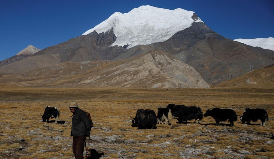 A man herds yaks in Gyangze county, during a government-organised tour of the Tibet autonomous region. Photo: Reuters