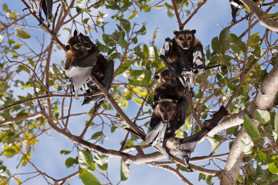Spectacled flying foxes in Cairns endured a mass dying event in 2018. Source: Getty