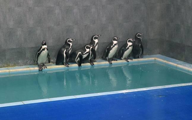 Mumbaikars will have to wait more to get a glimpse of Hambolt penguins