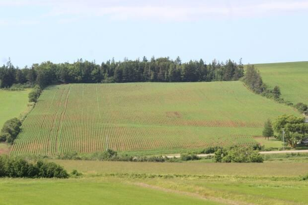 In some P.E.I. potato fields the rows are already closing over, shading the soil and keeping in moisture. (Kevin Yarr/CBC - image credit)