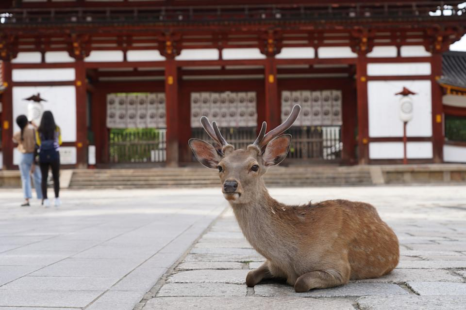 NARA, JAPAN - 2020/06/17: A sika deer sits on a footpath at the deserted Todaiji Temple. The UNESCO World Heritage listed temple is reopened as the state of emergency has been completely lifted. Japan received an estimated 1,700 foreign travelers in May, the lowest since 1964 when the government started the survey. (Photo by Jinhee Lee/SOPA Images/LightRocket via Getty Images)