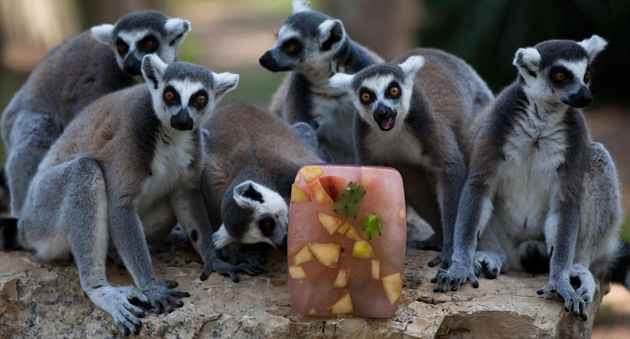RAMAT GAN, ISRAEL - JULY 12:  Ring tailed lemurs sit around an ice block of frozen fruit to help them cool off at the Ramat Gan Safari Zoo on July 12, 2012 in Ramat Gan, near Tel Aviv, Israel. Temperatures reached a high of 34 Celsius (93 degrees Fahrenheit) in Tel Aviv.   (Photo by Uriel Sinai/Getty Images)