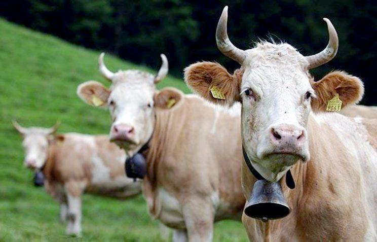 Anger: Vegan Ms Holten said the cowbells were too loud and heavy (CEN)