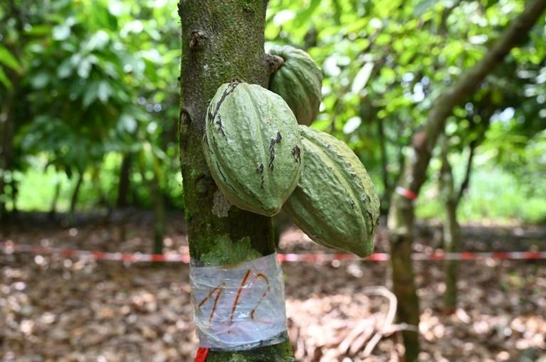 Farming organic cocoa is harder work than conventional cultivation but offers better returns