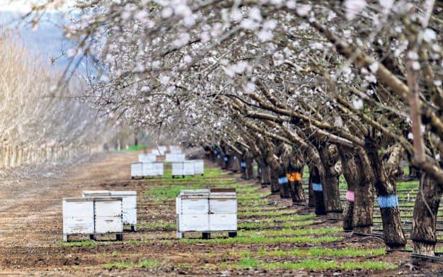 Beehives in the Californian almond groves – the crop depends on honeybees - Getty Images