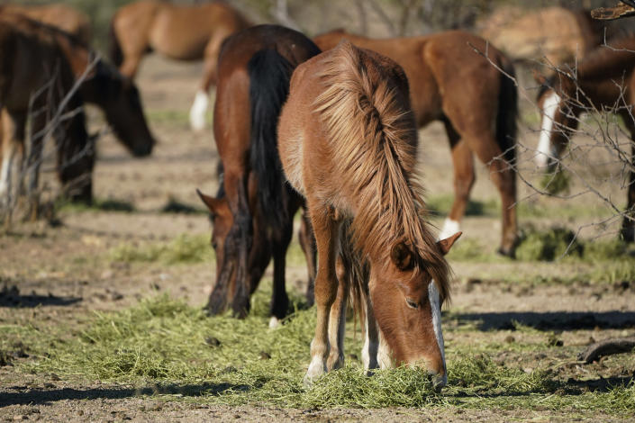 FILE - In this March 10, 2021, file photo, Salt River wild horses eat hay at a site for emergency feeding run by the Salt River Wild Horse Management Group near Coon Bluff in the Tonto National Forest near Mesa, Ariz. Federal land managers say they're stepping up protections to guard against the illegal resale of wild horses and burros adopted from the government for slaughter after they've been captured on U.S. lands, but mustang protection advocates say the Bureau of Land Management needs to do more. (AP Photo/Sue Ogrocki, File)