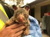 FILE PHOTO: WIRES volunteer and carer Tracy Burgess holds a severely burnt brushtail possum rescued from fires near Australia's Blue Mountains