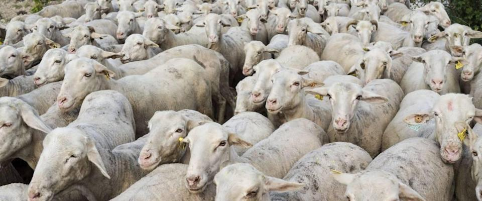 A flock of sheep following each other in a long row.